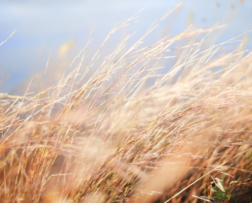 Brown grass blowing in the wind
